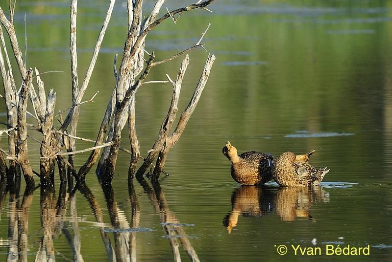 <p>En circulant sur la digue, apprenez &agrave; appr&eacute;cier la faune &agrave; distance. Les canards ont droit &agrave; leur intimit&eacute;. Ne les nourrissez pas, car cela peut nuire &agrave; leur sant&eacute;, modifier leur comportement et les exposer &agrave; des pr&eacute;dateurs.<br /><br />Photo : Deux canards colverts femelles, &copy; Yvan B&eacute;dard</p>