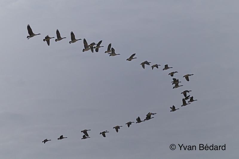 <p>Nous nous retrouvons maintenant dans la partie centrale du marais, &agrave; un endroit qui se pr&ecirc;te bien aux observations. Profitez-en pour admirer le vol des oiseaux et voir comment ils s&rsquo;&eacute;l&egrave;vent &agrave; partir de l&rsquo;eau et y reviennent. Puis, &eacute;tudiez leur comportement. Vous pourriez entendre des cris et bruits insolites!<br /><br />Photo : Envol&eacute;e de bernaches du Canada, &copy; Yvan B&eacute;dard</p>