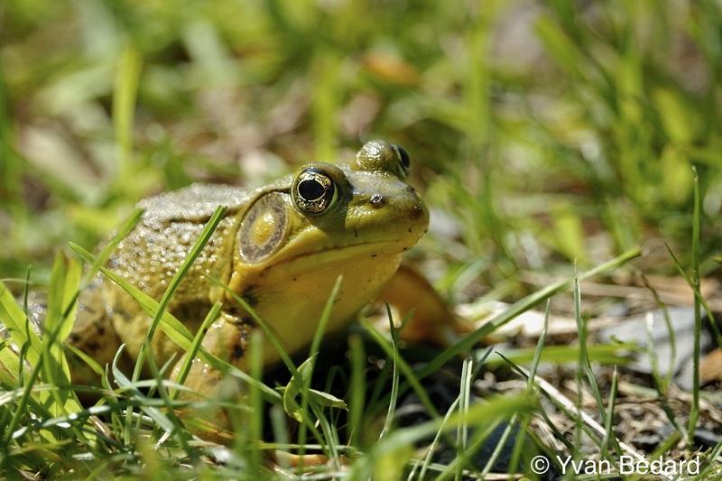 <p>Du mois de septembre au d&eacute;but de novembre, quelques esp&egrave;ces de grenouilles migrent vers les eaux et les boues du marais pour y hiberner. Elles y passeront toute la saison froide, jusqu&rsquo;au printemps. En voyez-vous?<br /><br />Photo : Grenouille verte, &copy; Yvan B&eacute;dard</p>