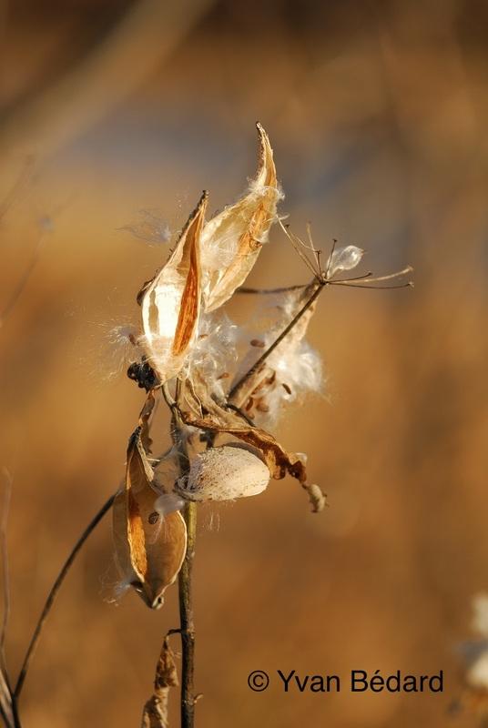<p>Il s&rsquo;agit de l&rsquo;ascl&eacute;piade commune, qui produit l&rsquo;&eacute;t&eacute; de belles fleurs en ombelles. Ses fruits s&eacute;ch&eacute;s maintenant ouverts laissent pr&eacute;sentement voir les graines (voir photo).<br /><br />Photo : &copy; Yvan B&eacute;dard</p>