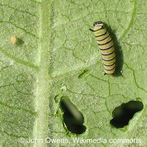 <p>La survie d&rsquo;un certain papillon orange, noir et blanc, le fameux papillon monarque, d&eacute;pend presque enti&egrave;rement de l&rsquo;ascl&eacute;piade. En effet, les papillons monarques pondent leurs &oelig;ufs sur cette plante, et les chenilles s&rsquo;y d&eacute;veloppent en broutant de grandes quantit&eacute;s de feuilles. Avez-vous d&eacute;j&agrave; vu un oiseau d&eacute;vorer un papillon monarque? C&rsquo;est peu probable, car la toxine contenue dans la s&egrave;ve d&rsquo;ascl&eacute;piade rend le papillon monarque toxique.<br /><br />Photo: Chenille de papillon monarque et ascl&eacute;piade; auteur: John Owens, Wikimedia Commons</p>