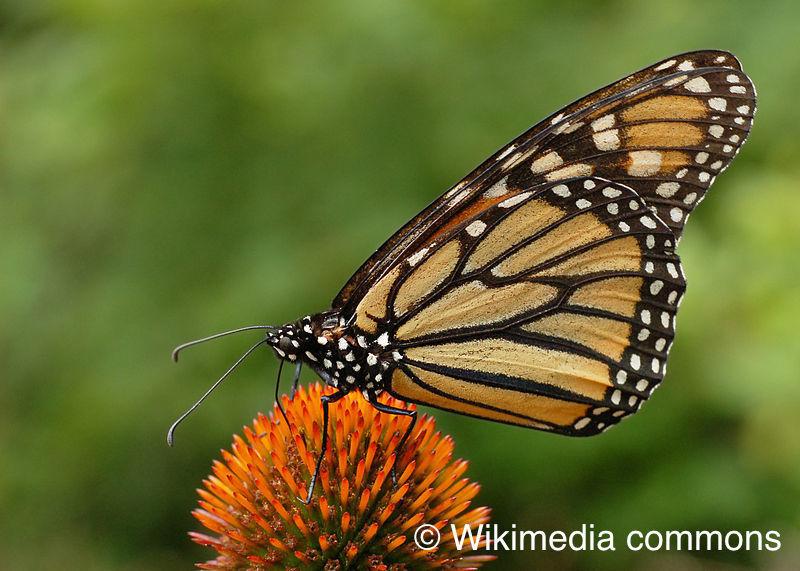 <p>Saviez-vous que le papillon monarque est le seul papillon migrateur d&rsquo;Am&eacute;rique du Nord? Il franchit chaque automne des milliers de kilom&egrave;tres pour se rendre au Mexique. Partout sur le continent, l&rsquo;utilisation d&rsquo;herbicides contribue &agrave; r&eacute;duire les populations d&rsquo;ascl&eacute;piades, et donc, celles de papillons monarques. Heureusement, l&rsquo;ascl&eacute;piade commune demeure abondante dans les milieux ouverts peu perturb&eacute;s, comme ici au marais L&eacute;on-Provancher.<br /><br />Photo : Papillon monarque, Wikimedia commons</p>