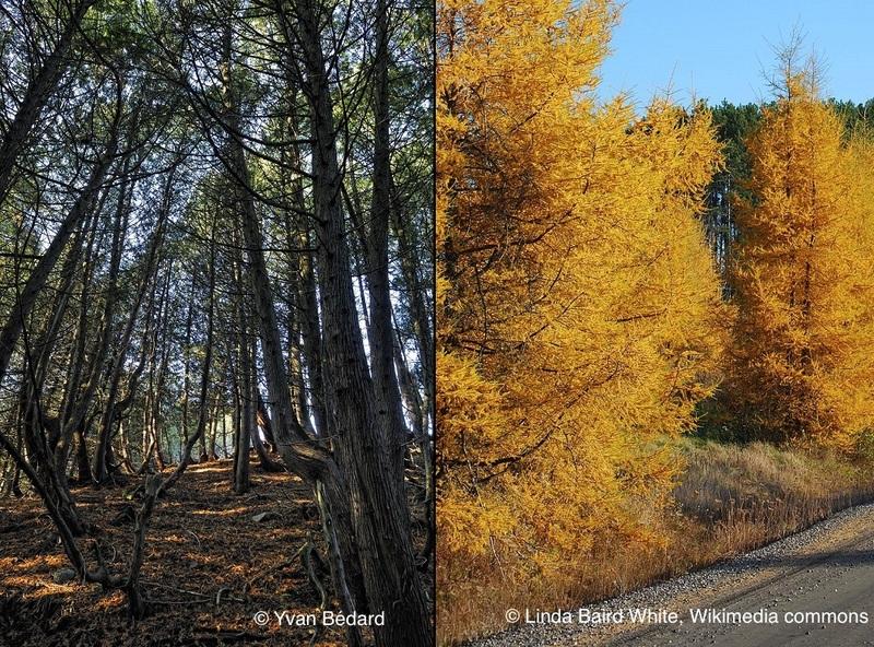 <p>Sur le chemin du retour, nous vous mettons au d&eacute;fi de trouver deux conif&egrave;res bien diff&eacute;rents : le thuya occidental, commun&eacute;ment appel&eacute; &laquo; c&egrave;dre &raquo;, qui reste vert en automne et en hiver, et le m&eacute;l&egrave;ze laricin.<br /><br />Photo (gauche) : Thuyas, &copy; Yvan B&eacute;dard<br />Photo (droite) : M&eacute;l&egrave;zes; auteure: Linda Baird White, Wikimedia Commons</p>