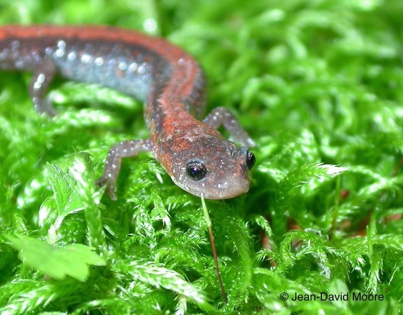 <p>La salamandre cendr&eacute;e est une esp&egrave;ce int&eacute;ressante, car la coloration des individus peut &ecirc;tre tr&egrave;s variable au sein des populations. On reconna&icirc;t deux types principaux de coloration chez cette esp&egrave;ce : la salamandre cendr&eacute;e &agrave; dos rouge et celle &agrave; dos de plomb. D&rsquo;autres colorations, plus rares toutefois, peuvent parfois &ecirc;tre rencontr&eacute;es. Le domaine vital de la salamandre cendr&eacute;e est de quelques m&egrave;tres carr&eacute;s, et elle n&rsquo;a pas besoin d&rsquo;eau pour sa reproduction. Elle peut donc vivre dans des &eacute;cosyst&egrave;mes restreints et m&ecirc;me se retrouver dans les petits bois&eacute;s urbains. Surveillez autour de vous! La salamandre cendr&eacute;e choisit des d&eacute;bris ligneux pour s&rsquo;installer. Tout son cycle de vie se compl&egrave;te en for&ecirc;t. Quand vous en verrez, saurez-vous dire de quel type de salamandre cendr&eacute;e il s&rsquo;agit?<br /><br />Photo: Salamandre cendr&eacute;e, &copy; Jean-David Moore</p>