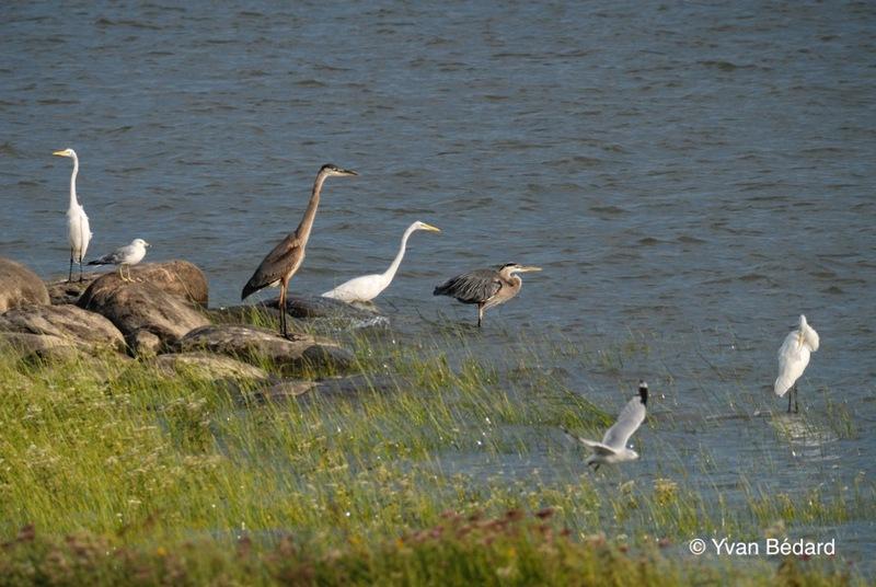 <p>La gr&egrave;ve qui borde le fleuve Saint-Laurent au sud du territoire du Marais-L&eacute;on-Provancher a le statut d&rsquo;habitat prot&eacute;g&eacute; en vertu de la Loi sur la conservation et la mise en valeur de la faune. Cet habitat prot&eacute;g&eacute; appel&eacute; &laquo; Aire de concentration d&rsquo;oiseaux aquatiques &raquo; comprend l&rsquo;ensemble de la zone intertidale, soit la partie du littoral qui se trouve entre les mar&eacute;es les plus hautes et les plus basses. C&rsquo;est en raison de l&rsquo;abondance des oiseaux aquatiques qui la fr&eacute;quentent en p&eacute;riode migratoire que cette gr&egrave;ve a re&ccedil;u un tel statut. Bernaches, canards, &eacute;chassiers, b&eacute;casseaux et go&eacute;lands y abondent. Dans un habitat faunique, nul ne peut faire d&rsquo;activit&eacute; susceptible de modifier un &eacute;l&eacute;ment biologique, physique ou chimique propre &agrave; l&rsquo;habitat des animaux prot&eacute;g&eacute;s.<br /><br />Photo: Grandes aigrettes, grands h&eacute;rons et go&eacute;lands &agrave; bec cercl&eacute; pr&egrave;s du fleuve, &copy; Yvan B&eacute;dard</p>
