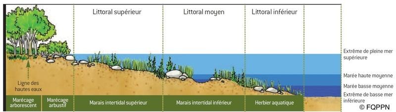 <p>D&rsquo;une amplitude de plus de 5 m en raison du r&eacute;tr&eacute;cissement du lit du fleuve et de la profondeur de l&rsquo;eau, les mar&eacute;es de la r&eacute;gion de Qu&eacute;bec sont les plus importantes du fleuve Saint-Laurent. La dur&eacute;e d&rsquo;immersion de la flore par les mar&eacute;es conditionne une succession de communaut&eacute;s v&eacute;g&eacute;tales. Ces derni&egrave;res sont dispos&eacute;es en bandes plus ou moins parall&egrave;les au rivage et de largeur variable selon la d&eacute;nivellation, la configuration et la microtopographie de la batture.<br /><br />Photo: Les subdivisons du littoral, &copy; FQPPN</p>
