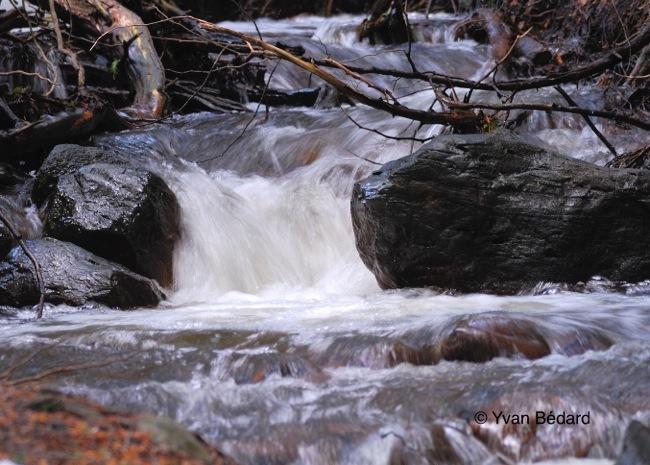 <p>L&rsquo;&eacute;t&eacute; peut &eacute;galement &ecirc;tre une saison difficile pour les habitants du ruisseau. En p&eacute;riode particuli&egrave;rement s&egrave;che, le niveau d&rsquo;eau peut devenir tr&egrave;s bas et lors des canicules, la temp&eacute;rature du ruisseau peut grimper assez fortement. Malgr&eacute; ces conditions parfois difficiles, ce ruisseau abrite des poissons. Les esp&egrave;ces qui le peuplent doivent donc &ecirc;tre adapt&eacute;es &agrave; ces conditions variables. On retrouve entre autres les mulets, les naseux et les meuniers. Ces poissons n&rsquo;ont pas de valeur commerciale ou sportive, mais leur valeur &eacute;cologique est importante, car ils font partie de la cha&icirc;ne alimentaire.<br />Il est important de respecter tous les cours d&rsquo;eau, m&ecirc;me les plus petits, puisque ces derniers peuvent abriter des fray&egrave;res et des aires d&rsquo;alevinage qui sont des zones de croissance des jeunes de l&rsquo;ann&eacute;e.<br /><br />Photo: Ruisseau Desroches, &copy; Yvan B&eacute;dard</p>