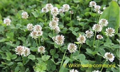 <p>Beaucoup de plantes produisent dans leur fleur du nectar, une substance liquide sucr&eacute;e. Cependant, &agrave; cause de leur morphologie, seule une fraction de ces fleurs peut &ecirc;tre butin&eacute;e par les insectes et quelques oiseaux &agrave; long bec comme les colibris. On nomme ces plantes &laquo; mellif&egrave;res &raquo;, puisque certaines esp&egrave;ces d&rsquo;abeilles transforment ensuite le nectar r&eacute;colt&eacute; en miel.<br />Le marais L&eacute;on-Provancher pr&eacute;sente une belle diversit&eacute; de plantes mellif&egrave;res qui sont en fleurs pendant tout l&rsquo;&eacute;t&eacute;. En d&eacute;but de saison, les abeilles butinent dans les fleurs des trilles, des am&eacute;lanchiers, des aub&eacute;pines, des aulnes, et m&ecirc;me dans celles d&rsquo;arbres comme les &eacute;rables, les fr&ecirc;nes, les bouleaux, les saules et les peupliers. &Agrave; la mi-saison, le marais leur offre les fleurs du tr&egrave;fle, du m&eacute;lilot, de la renou&eacute;e, de la menthe, de la monarde et du framboisier. &Agrave; la fin de l&rsquo;&eacute;t&eacute;, l&rsquo;&eacute;pilobe et plusieurs esp&egrave;ces d&rsquo;asters et de verges d&rsquo;or comblent les besoins des insectes en qu&ecirc;te de nectar.<br /><br />Photo: Fleurs du tr&egrave;fle, &copy; Wikimedia commons</p>