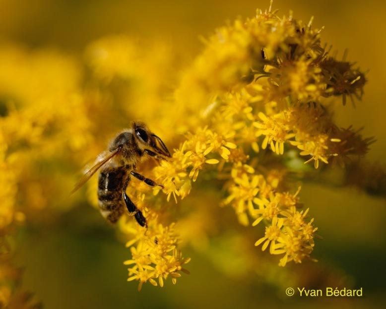 <p>Une seule abeille peut stocker jusqu&rsquo;&agrave; 500 000 grains de pollen sur une de ses pattes post&eacute;rieures et visiter 250 fleurs en une heure. On imagine son r&ocirc;le majeur dans la pollinisation! On estime que sur les 100 esp&egrave;ces de plantes alimentaires les plus cultiv&eacute;es dans le monde, 70 seraient pollinis&eacute;es par les abeilles. Sans les abeilles qui jouent un r&ocirc;le crucial en agriculture et pour la culture des arbres fruitiers, la biodiversit&eacute; serait grandement r&eacute;duite et notre r&eacute;gime alimentaire deviendrait plus monotone.<br /><br />Photo: Une abeille au travail, &copy; Yvan B&eacute;dard</p>