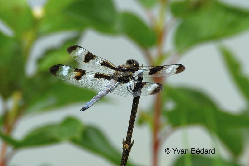 <p>Apr&egrave;s avoir pass&eacute; de quelques mois &agrave; 4 ans sous la forme de na&iuml;ades, les libellules profitent de l&rsquo;&eacute;t&eacute; et des conditions favorables du marais pour terminer leur cycle de d&eacute;veloppement. Apr&egrave;s quelques heures &agrave; faire s&eacute;cher leurs ailes sur les tiges a&eacute;riennes hors de l&rsquo;eau du marais, elles prennent leur envol pour leur premi&egrave;re chasse dans le milieu. Grand nombre de ces libellules seront elles-m&ecirc;mes les proies des tyrans tritri et de plusieurs autres esp&egrave;ces d&rsquo;oiseaux qui raffolent de ces insectes.<br /><br />Photo: Libellule sous forme adulte, &copy; Yvan B&eacute;dard</p>
