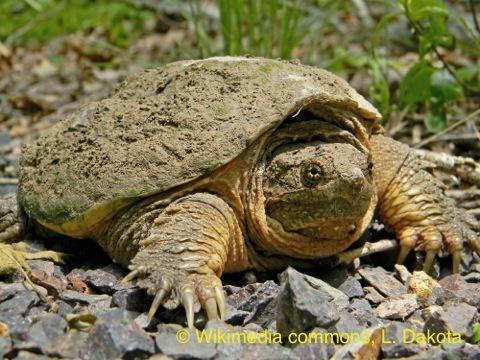 <p>Sur le territoire, la tortue serpentine et la tortue peinte sont les deux seules esp&egrave;ces de tortues indig&egrave;nes. Elles fr&eacute;quentent surtout le marais et aiment bien se faire chauffer au soleil sur un tronc ou une roche. Vous reconna&icirc;trez la tortue serpentine, surtout aquatique, par sa grande taille et sa couleur brun&acirc;tre. M&eacute;fiez-vous d&rsquo;elle sur le sol, car elle peut mordre avec son bec tranchant et griffer.<br />De son c&ocirc;t&eacute;, la tortue peinte est petite et poss&egrave;de une carapace lisse, assez fonc&eacute;e. On observe aussi des rayures jaunes sur sa t&ecirc;te et des rayures rouges sur son cou, ses pattes et sa queue. Cette esp&egrave;ce est le seul reptile connu &agrave; pouvoir r&eacute;sister &agrave; la cong&eacute;lation. Ce ph&eacute;nom&egrave;ne se produit chez les jeunes qui hibernent au nid.<br /><br />Photo: Tortue serpentine, &copy; Wikimedia commons, L. Dakota</p>