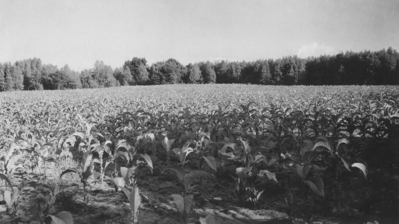 <p>La plantation de tabac de M. Roland Godbout.&nbsp;Photo&nbsp;prise par&nbsp;Jeanne Langis-Millette en 1939.</p>